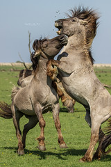 Young wild stallions (Cynthia ten Bras Photography) Tags: horses horse nature netherlands canon wildlife nederland natuur wildanimal wildhorses naturephotography oostvaardersplassen wildlifephotography konikspaarden canonnl nederlandsenatuur canoneos600d