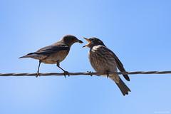 Western Bluebird feeding fledgling (John McGinty) Tags: bluebird westernbluebird