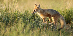 Keeping Watch (gainesp2003) Tags: nature mammal colorado wildlife national fox co kits swift kit foxes grasslands velox pawnee vuples