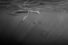 Among Giants (Lance Sagar) Tags: ocean sea bw usa man nature water island hawaii big underwater pacific dolphin sony freediving dolphins hawaiian hi apnea spinner freediver inon ikelite rx100