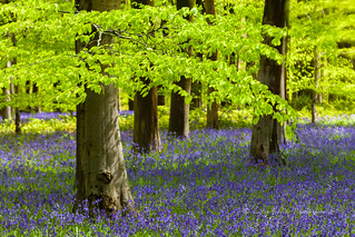 bluebells and beech leaves