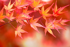 Maple (Patrick Foto ;)) Tags: autumn red orange white plant abstract color detail tree green fall leave texture nature beautiful yellow closeup forest golden design leaf maple flora colorful branch pattern natural outdoor vibrant background border seasonal vivid foliage jungle frame change environment lush