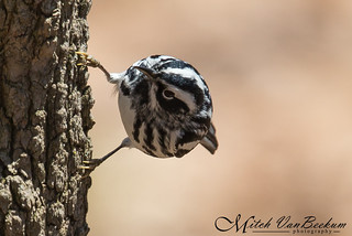 Hang In There! (Black-and-White Warbler)