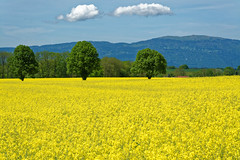 May is yellow (alain.winterberger) Tags: colza jaune grosdevaud echallens suisse switzerland schweiz arbre jura suchet champ lebeaupaysdevaud bfv200 nikonpassion explore