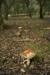 Toadstools in the cork forest (i-lenticularis) Tags: forest australia toadstool canberra manuallens a7r altlens sonya7r type1summicronm35