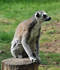 Ring Tailed Lemur (littlestschnauzer) Tags: park cute animals fun climb jump yorkshire may fluffy ring lemur madagascar alert tailed agile 2015 ywp
