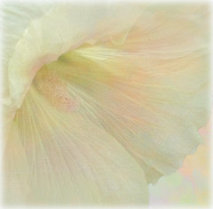 A Delicate Beauty (virtually_supine) Tags: flower macro closeup photomanipulation textures layers hollyhock pasteltones photoshopelements9 may2015tmicontestpastelpetals hollyhockphotograph24072014uploaded18052015
