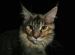 kitty cat (dario vukovic) Tags: cat kat kitty gato meow katze  macska gatto pussycat kot kedi  katt kissa flin kttur maka paka  lechat  katu    pisic