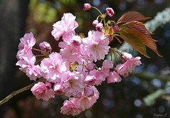 Cherry Blossom (Eleanor (No multiple invites please)) Tags: uk stanmore canonspark 105mmmacrolens nikond7100 may2016