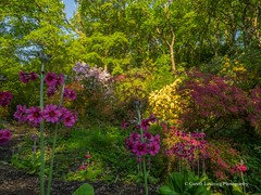 Clyne Gardens 2016 05 13 #17 (Gareth Lovering Photography 2,000,000 views.) Tags: gardens swansea botanical olympus shrubs lovering clyne em1 1240mm clyneinbloom