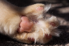One fluffy paw (FocusPocus Photography) Tags: hairy pet animal cat paw chat toes fluffy linus gato katze haustier kater tier pfote zehen haarig almostclean fastsauber
