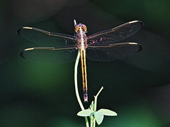 Needham's Skimmer dragonfly 20160522 (Kenneth Cole Schneider) Tags: florida miramar westbrowardwca