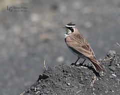 Horned Lark--77 (LGNaturePhotos) Tags: hornedlark nearmalheurnwr rueredroad centraloregontrip2016