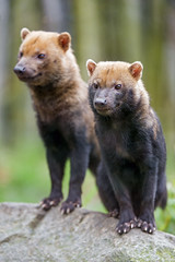 Two bush dogs on a stone (Tambako the Jaguar) Tags: two together posing stone portrait bushdog dog canid canine cute mulhouse zoo france alsace nikon d4