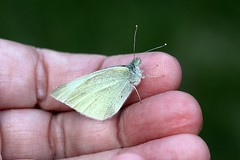 First Butterfly Of 2016 002 - Pieris Rapae (Chrisser) Tags: ontario canada nature digital butterfly insect butterflies insects pierisrapae pieridae lens00025 canoneosrebelt1i smallwhitecabbagebutterfly canonefs60mmf28macrousmprimelens