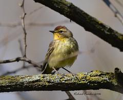 Palm warbler (eddissonuk) Tags: ontario birds nikon sigma palm warbler d7100 150600