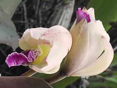 Orqudeas cultivadas en la Universidad EAFIT. Mayo 3 de 2016 (Nivaldo de Jesus Arenas Correa) Tags: naturaleza flores flower fleurs colombia orchids flor phalaenopsis vanda dendrobium araa epidendrum oncidium torito cambria medellin orchides miltonia calavera pajarito cymbidium antioquia zygopetalum orqudea brassia pleurothallis stelis astrophytum lepanthes eafit espritusanto bletiapurpurea cattleyatrianae epidendrumanthropophorum mariposita banderita cunadevenus cucarrn orqudeaphalaenopsis universidadeafit phaiustankervillae zapatodeobispo liriodemayo flornacionaldecolombia laflordemayo orqudeascultivadasenlauniversidadeafit orqudeacattleyatrianae orqudeascolombianas telipogonesperanzae cattleyagigaswarscewiczii orquidearenanthera cattleyabogotensis cattleyakimballiana cattleyalindigii epidendrumlabiatum