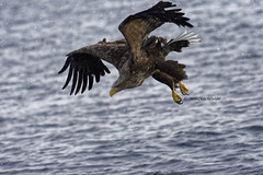 Approaching  (Alpha 2008) Tags: ocean winter sea nature japan nikon hokkaido pacific eagle wildlife hunting      bif  seaeagle   whitetailedeagle  200500mm