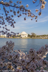Cherry Blossoms by the Tidal Basin (breakfast_pizzas) Tags: pink flowers trees white nature water canon cherry outdoors washingtondc dc washington districtofcolumbia memorial thomas district blossoms columbia basin cherryblossoms jefferson tidal jeffersonmemorial cherrytree tidalbasin pinkflowers whiteflowers thomasjeffersonmemorial canonphotography canon60d