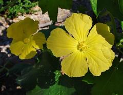 Sponge squash flowers (dawn_L) Tags: flowers arizona edible