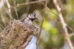 Saliendo del nido (sergio estevez) Tags: aves pajaro tronco nido herrerillo pinardelrey sergioestevez