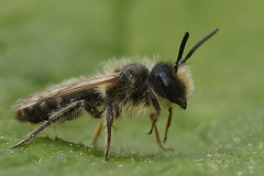 Andrena flavipes, male (henk.wallays) Tags: