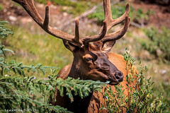 Bow Valley Elk (Samantha Decker) Tags: canada wildlife ab alberta rockymountains elk banffnationalpark parkscanada canadianrockies bowvalleyparkway canoneos60d samanthadecker tamronsp150600mmf563divcusd