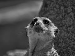 Erdmnnchen - Meerkat (W_von_S) Tags: africa bw nature monochrome animal germany munich mnchen bayern deutschland bavaria zoo blackwhite spring meerkat outdoor sony natur may mai afrika sw tier mongoose werner frhling afrique erdmnnchen hellabrunn 2016 manguste a700 einfarbig schwarzweis wvons