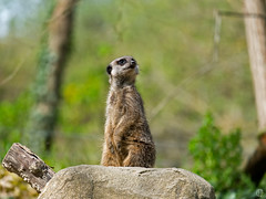 You hear that!? (mostodol) Tags: park france nature animal wow fuji fujifilm pal allier parc auvergne suricate xa1 greatestphotographers