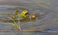 2016-05-06 - 16.09.27 - _L5B3339 - 5 (Rossell' Art) Tags: pad frog toad sapo rana frosch grenouille kikker rano bufo r krte crapaud  rospo doodebemde batracien