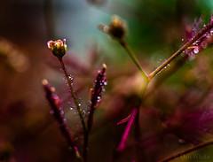 Smoke Tree Flower (Don White (Burnaby) Thanks for the Three Million V) Tags: macro bokeh smoketree extensiontube flowersplants misted 26mm sigma30mmf28