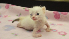 Kitten Born With Twisted Limbs Was Left To Die But This Woman Saw Perfection In Her (jh.siesta) Tags: woman this born kitten limbs left twisted perfection