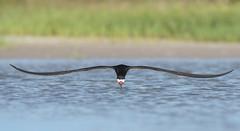 Skimmetry (PeterBrannon) Tags: ocean bird nature inflight fishing gulf florida wildlife flight symmetry fortdesoto birdinflight blackskimmer headon rynchopsniger lowpov skimmingthesurface