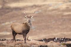 SJ7_6115 (glidergoth) Tags: red scotland deer reddeer cervuselaphus