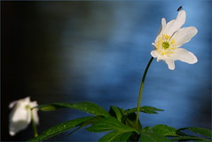 Wood anemone (evisdotter) Tags: light flower macro nature bug insect spring bokeh blomma vitsippa woodanemone