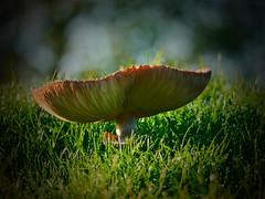 PLaneAR. (Warmoezenier) Tags: fungus cogumelo seta svamp champignon paddestoel vorm fungo schwamm zweven planear hallucinatie verdovend