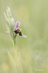 orchis bourdon (vyclem78) Tags: mai orchide orchisbourdon