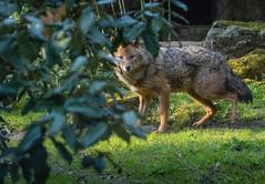 Golden jackal 2016-04-14-0492 (bzd1) Tags: animals dogs goudjakhals roofdieren jakhals animal mammal carnivore canidae canis burgerszoo goldenjackal canisaureus nature