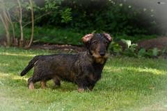 Woody explores-1 (visiological) Tags: dog dachshund hund dackel