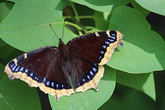 butterfly mourning cloak on lilac leaves Nymphalis antiopa 2016 05 28 (21) (lillianderwelis) Tags: butterfly mourning cloak nymphalis antiopa