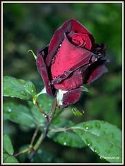 _JVA6886 (mrjean.eu) Tags: park pink flowers blue roses white france flower macro fleur rose yellow fleurs garden nikon jardin botanic lorraine botanique parc metz 105mmf28