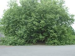 Platane von drauen (mkorsakov) Tags: shadow friedhof tree green oldschool platanus grn schatten baum dortmund platane grnzeug hauptfriedhof wambel aberhallo
