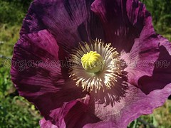 13502645_10206459023050811_7826356581850350700_o (Unusual Botanicals) Tags: fish macro eye art lens photography high grow fisheye attachment afghan poppy poppies resolution farms hd how growing hq poppyseed izmir lenses botanicals iphone highres papaversomniferum opiumpoppy poppypods organical opiumpoppies turkishimports iphoneography poppycultivation organicalbotanicals opiumpoppycultivation opiumpoppiesseed izmiroilampspicecompany izmirpoppy