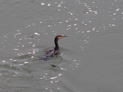 Great cormorant () (Greg Peterson in Japan) Tags: birds japan cormorants wildlife rivers shiga jpn moriyama shigaprefecture yasugawa rittocity