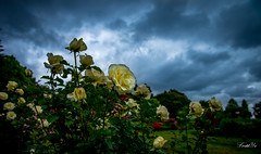 Rain is coming  (T.ye) Tags: rose garden rain clouds dark depth field sky out landscape mood heavy sunlight ourdoor ourside flowers plant vancouver qe park cloud