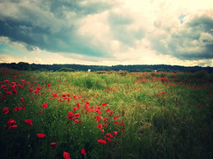 summer (***toile filante***) Tags: light red summer sky green rot nature clouds licht sommer natur meadow wiese himmel wolken poppies grn sommerwiese mohnblumen