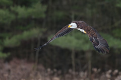 Bald Eagle (Dara Lork) Tags: canon eagle wildlife flight bald raptor 200400mm 1dx
