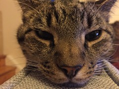 (rachelrowley88) Tags: cat giant tabby sleepy archie grumpy gentle