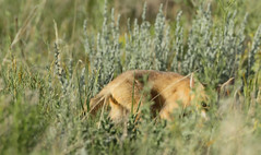 Peek-a-Boo! (gainesp2003) Tags: nature mammal colorado wildlife national fox co kits swift kit foxes grasslands velox pawnee vuples