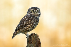 Little Owl at Sunset (Steve Mackay) Tags: sunset bird nature birds wildlife littleowl athenenoctua stevemackay